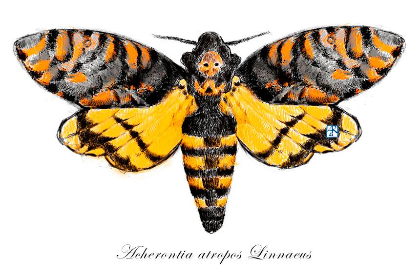 Acherontia atropos Linnaeus la falena testa di morto